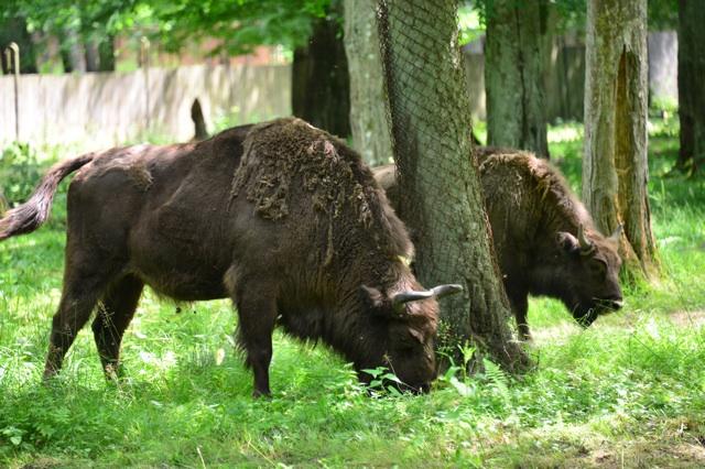 1.1372636800.bison