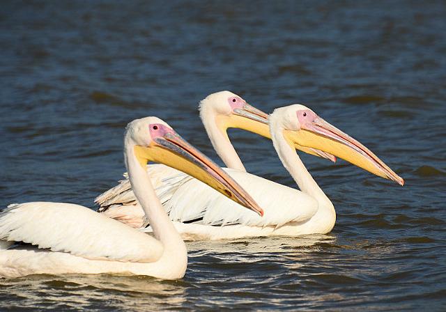 5.1385856000.pelicans